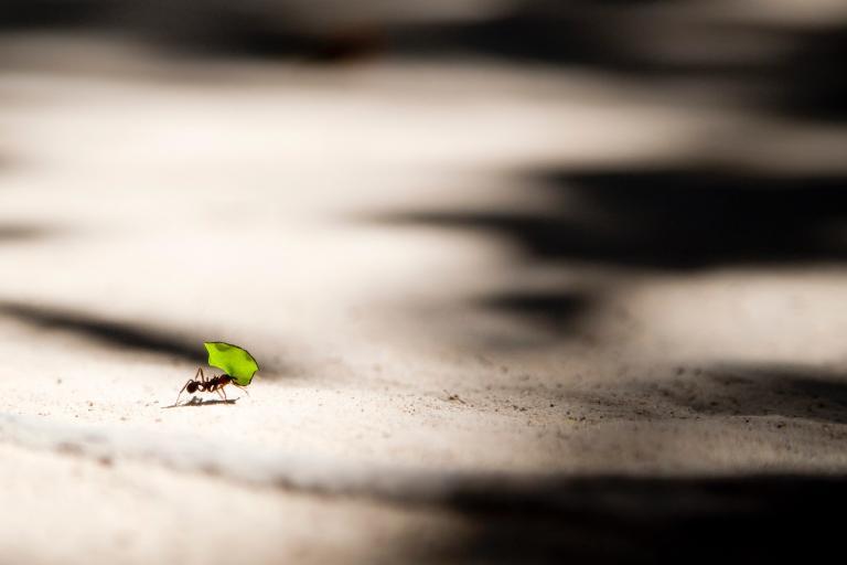 Maleńka mrówka niosąca listek