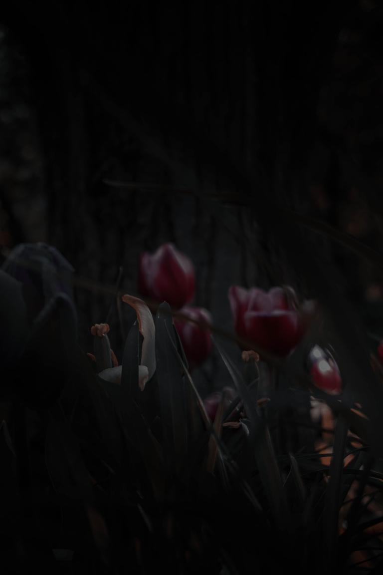 Zwiędłe tulipany